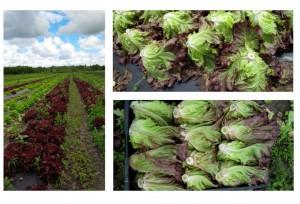 lettuce pics aug 2015